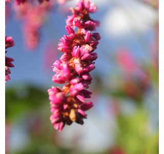 Persicaria-orientalis-Globuli