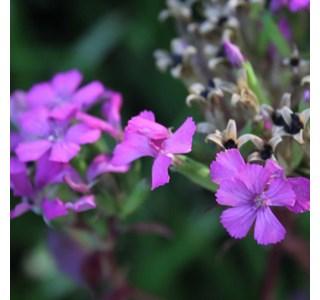 Dianthus-japonicus-Globuli