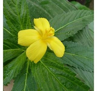 Turnera-ulmifolia-Globuli