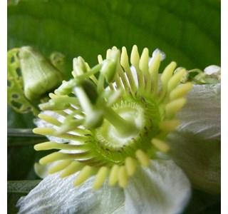 Passiflora-biflora-Globuli