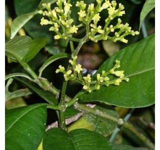 Psychotria-marginata-Globuli
