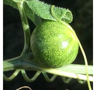 Bryonia-verrucosa-Globuli