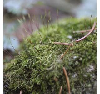Amblystegium-serpens-Globuli