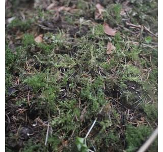 Ctenidium-molluscum-Globuli