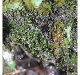 Pellia-endiviifolia-Globuli