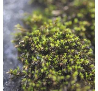 Schistidium-crassipilum-Globuli