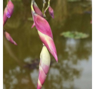 Thalia-geniculata-Globuli