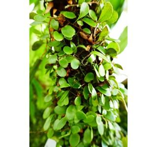 Pyrrosia-nummulariifolia-Globuli