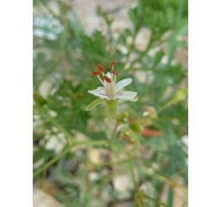 Pelargonium-crithmifolium-Globuli
