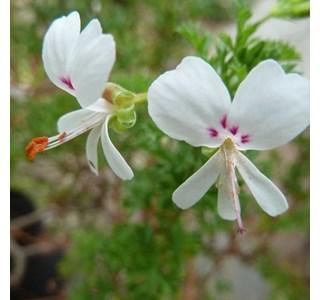 Pelargonium-myrrhifolium-Globuli