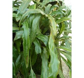 Elaphoglossum-plumosum-Globuli