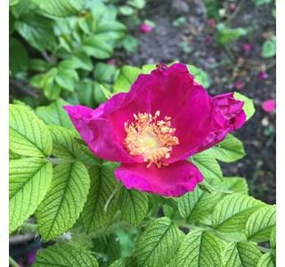 Rosa-rugosa-Globuli