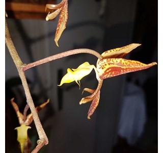 Gongora-quinquenervis-Globuli