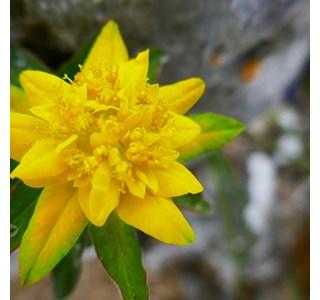Euphorbia-epithymoides-Globuli