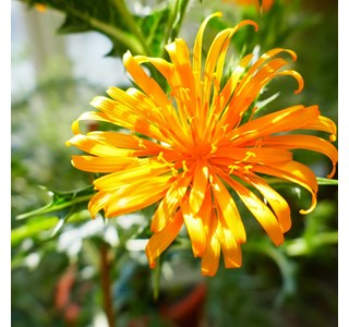 Scolymus-hispanicus-Globuli