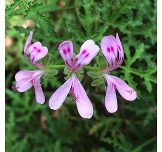 Pelargonium-denticulatum-Globuli