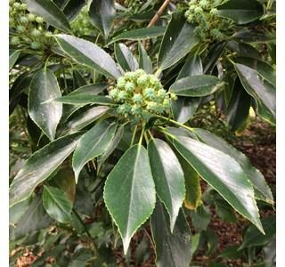 Trochodendron-aralioides-Globuli