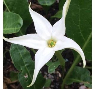 Jaborosa-integrifolia-Globuli