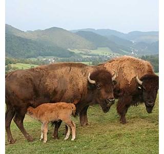 Cor-bison-Globuli