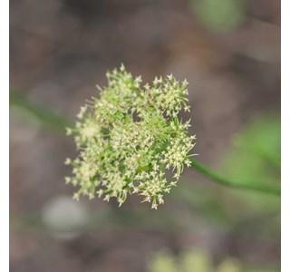Bunium-bulbocastanum-Globuli
