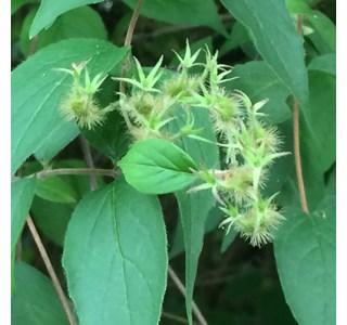 Kolkwitzia-amabilis-Globuli