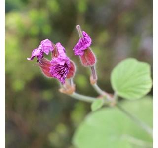 Pelargonium-capitatum-Globuli