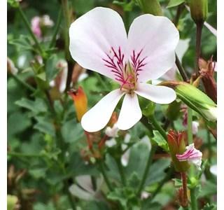 Pelargonium-echinatum-Globuli