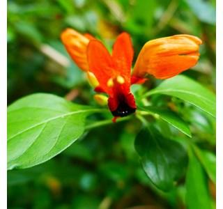Ruttya-fruticosa-Globuli