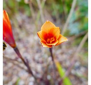 Habranthus-tubispathus-Globuli
