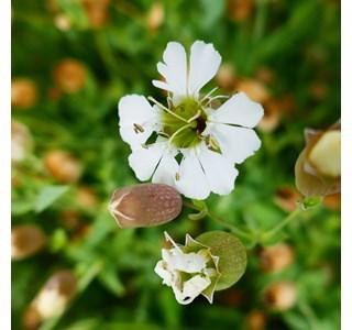 Silene-uniflora-Globuli