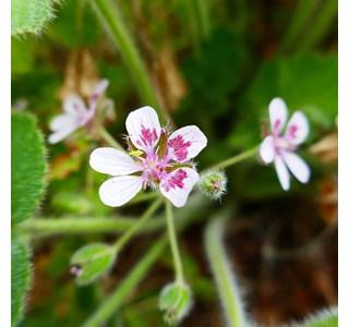 Erodium-trifolium-Globuli