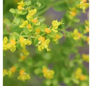 Euphorbia-ceratocarpa-Globuli