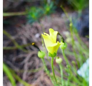 Drosophyllum-lusitanicum-Globuli