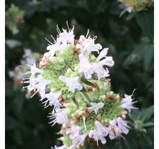 Pycnanthemum-californicum-Globuli