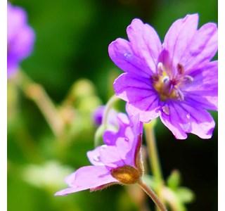 Geranium-pyrenaicum-Globuli