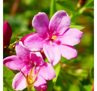 Jasminum-beesianum-Globuli