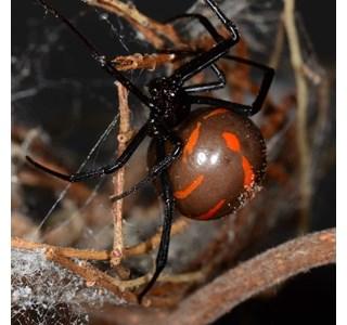 Latrodectus-mactans-mexicanus-Globuli