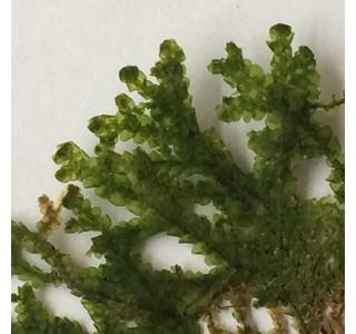 Porella-platyphylla-Globuli