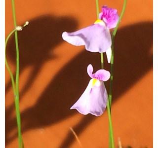 Utricularia-longifolia-Globuli