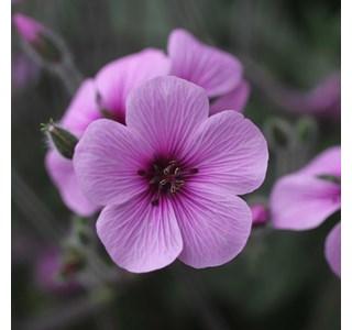 Geranium-maderense-Globuli