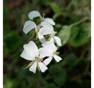 Pelargonium-multibracteatum-Globuli