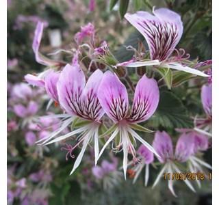 Pelargonium-cordifolium-Globuli
