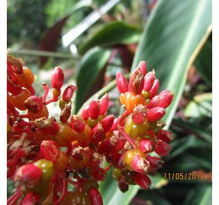 Stromanthe-thalia-Globuli