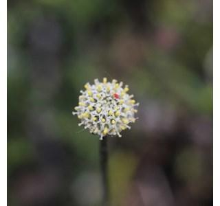 Leptinella-pectinata-Globuli