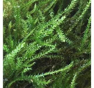 Taxiphyllum-barbieri-Globuli
