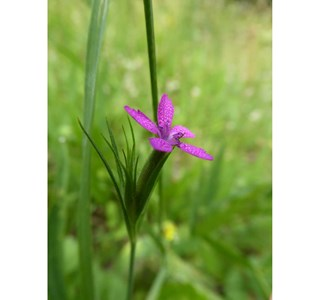 Dianthus-armeria-Globuli