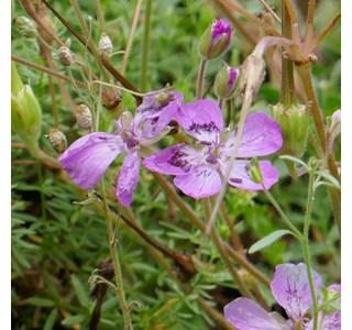 Erodium-carvifolium-Globuli