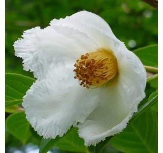 Stewartia-monadelpha-Globuli