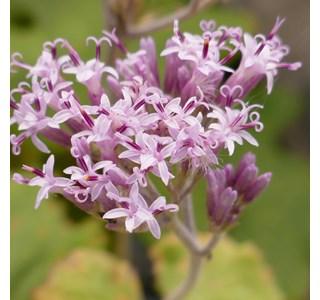 Adenostyles-alpina-Globuli