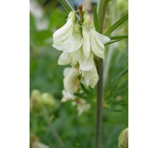 Hedysarum-boutignyanum-Globuli